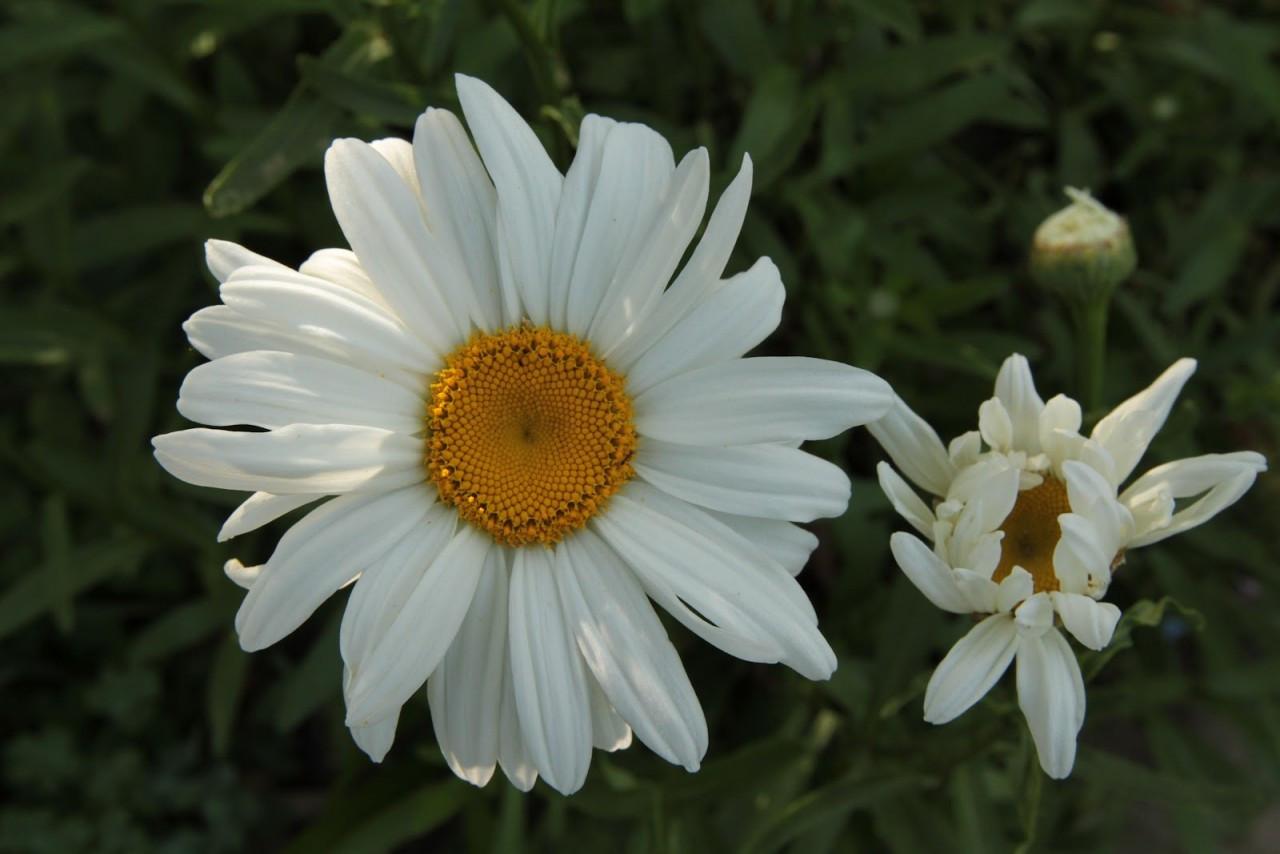 Shasta Daisy Flower Essences Of Fox Mountain