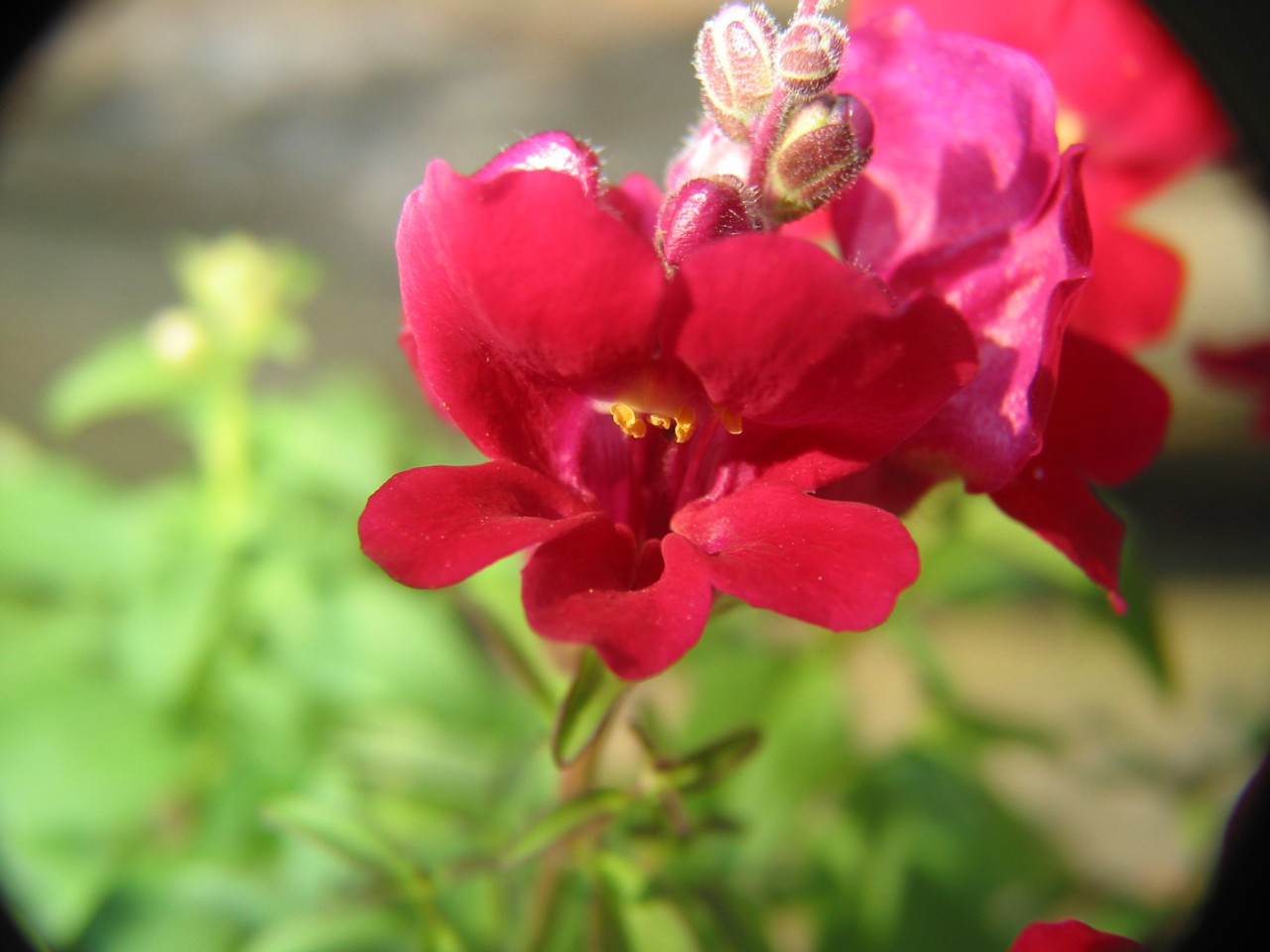 Snapdragon (Red) - Flower Essences of Fox Mountain