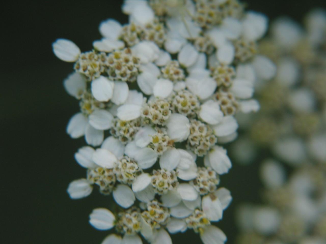 Yarrow Flower Essences Of Fox Mountain