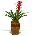 bromelaid plant