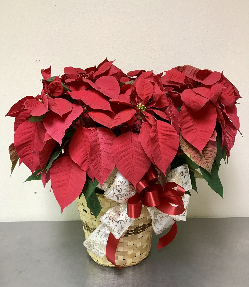 Red Poinsettia Abilene Flowers