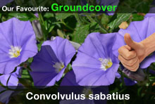 top20-convolvulus.jpg