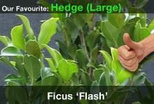 top20-ficusflash.jpg