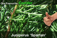 top20-juniperusspartan.jpg