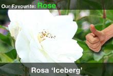 top20-rosaiceberg.jpg