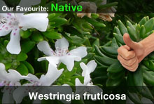 top20-westringiafruticosa.jpg