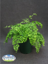 Adiantum sp. (Maidenhair Fern)