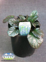 Ajuga 'Catlins Giant'
