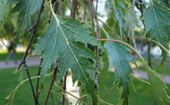 Cut Leaf Birch