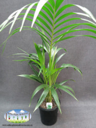 Howea forsteriana (Kentia Palm) 20cm Pot