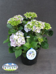 Hydrangea macrophylla (SOLD OUT)