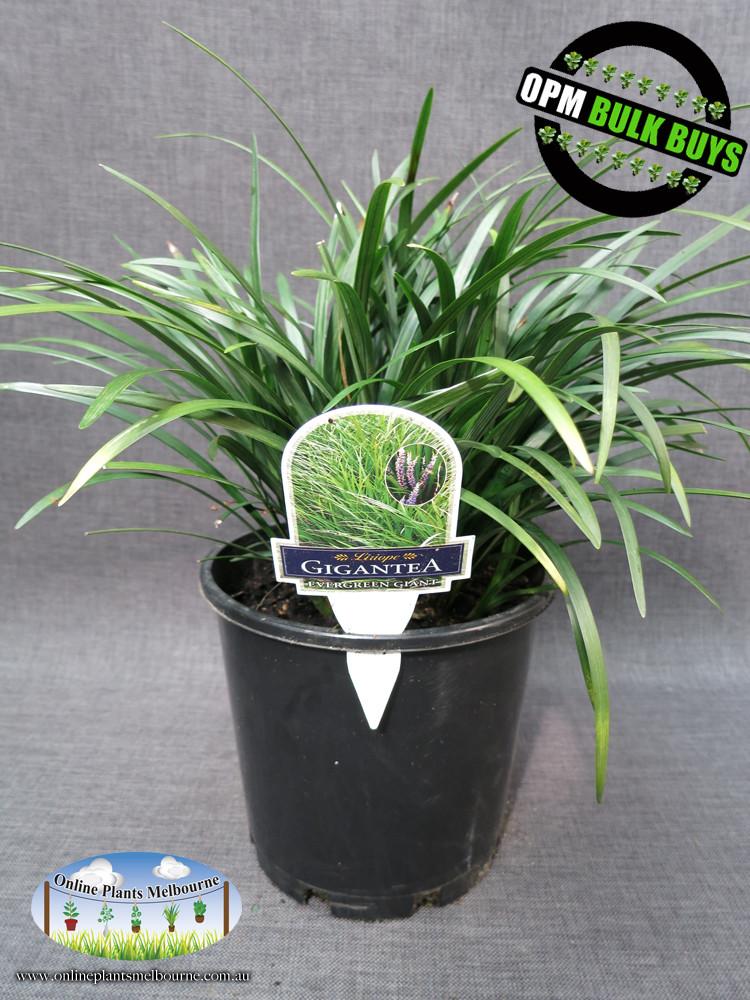 Online Plants Melbourne Liriope Evergreen Giant