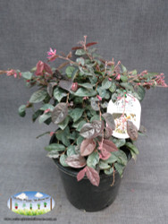 Loropetalum chinense 'China Pink'