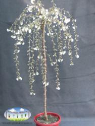 Prunus 'Snofozam' - Snow Fountains®