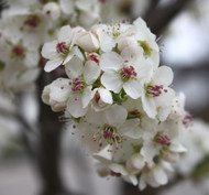 Ornamental Pear 'Cleveland Select'