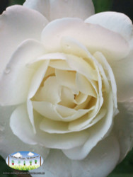 Rose 'Iceberg'