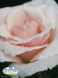 Rose 'Mothers Love'