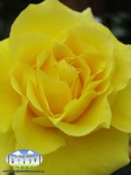 Rose 'Friesia'