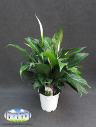 Spathiphyllum sp. (Peace Lily)