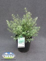 Native Coast Rosemary