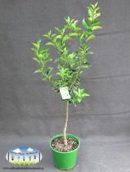 Lime - Citrus latifolia Tahitian