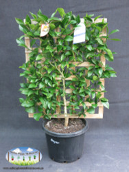 Lemon - Citrus x meyeri 'Meyer' (Espalier)