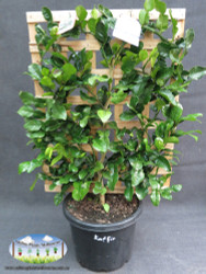 Image shows a 'Kaffir' Lime variety for demonstrative purposes only. Supply will be the listed Tahitian.