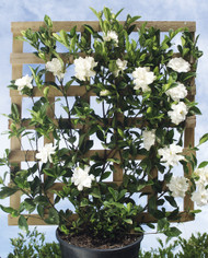 Gardenia florida (Espalier)