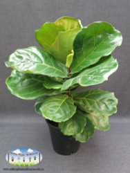 Fiddle Leaf Fig (Large)