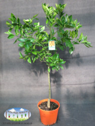 Orange - Citrus sinensis 'Washington Navel'