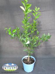 Cumquat - Calamondin cv.