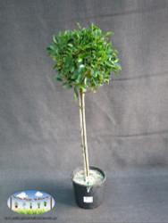 Ficus (Standard)