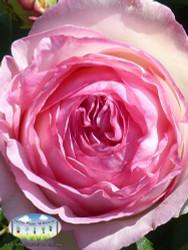 Rose 'Pierre de Ronsard' (Climbing)