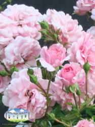 Rose 'Bonica'