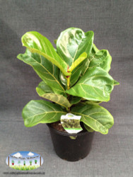 Fiddle Leaf Fig 20cm