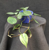 Heart Leaf Philodendron Basket