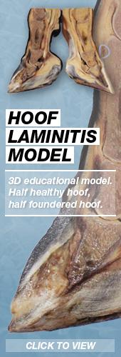 3D Hoof Laminitis Model